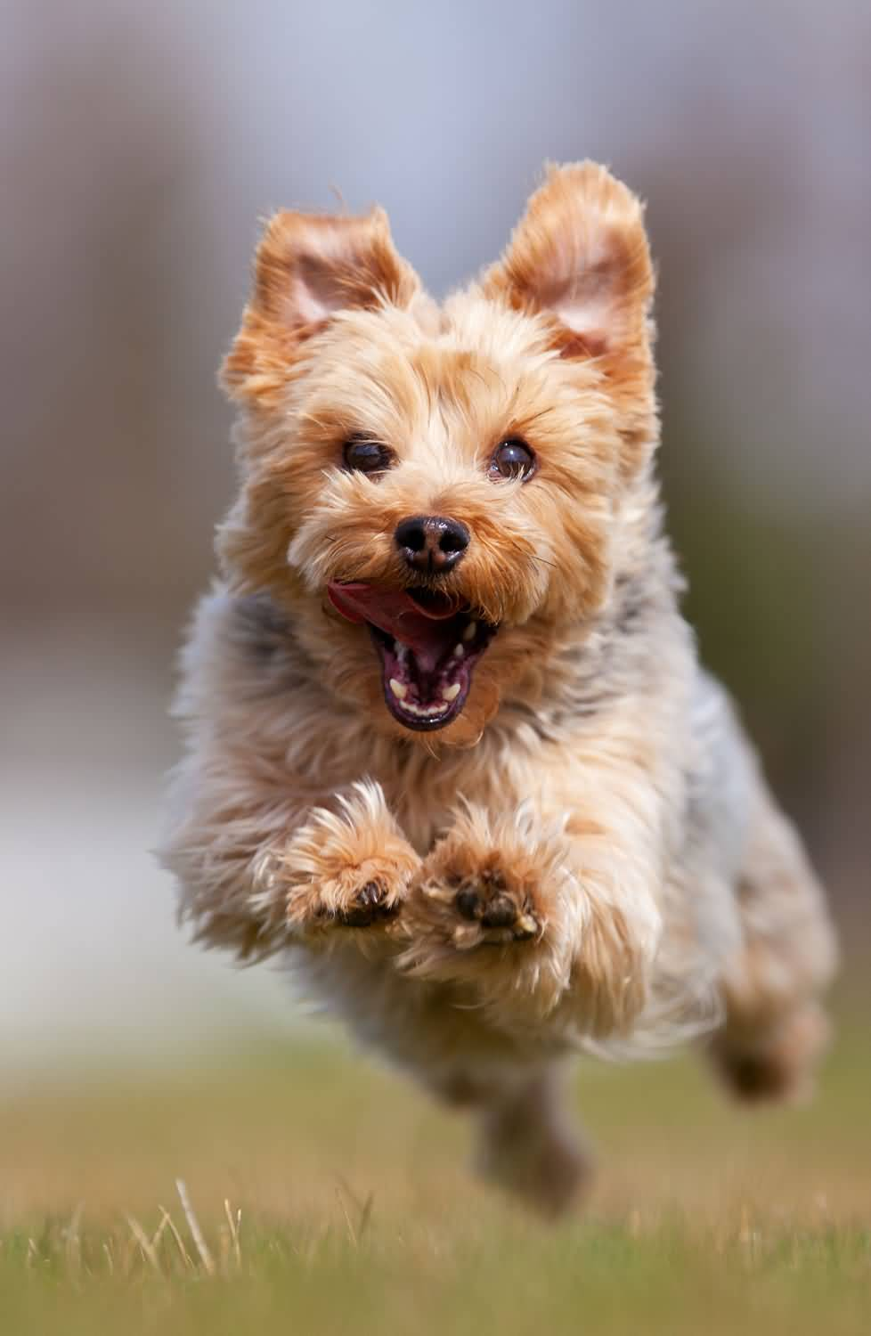 Awesome Yorkshire Terrier Dog With Beautiful Green Background