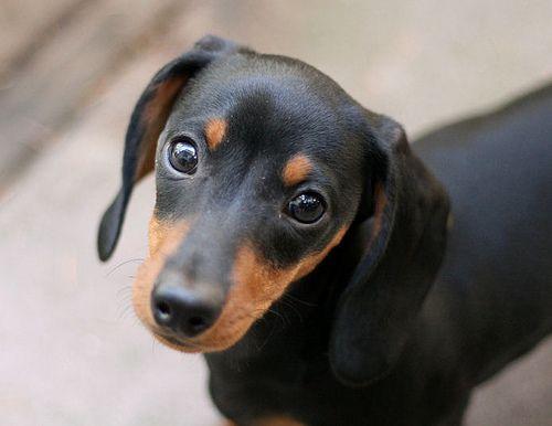 Beautiful Black Dachshund Dog Looking At You
