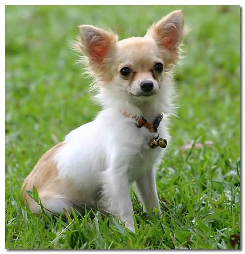 Beautiful White Chihuahua Dog Baby With Green Grass