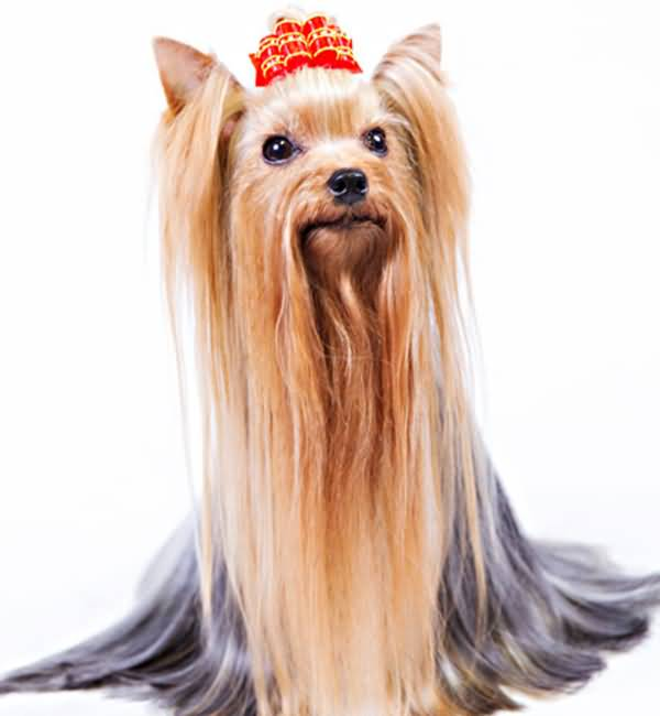 Brilliant Yorkshire Terrier Dog With Hairs Style