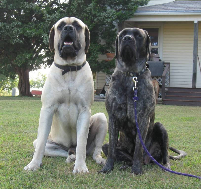 Charming Black And White English Mastiff Dog Sitting On Green Grass