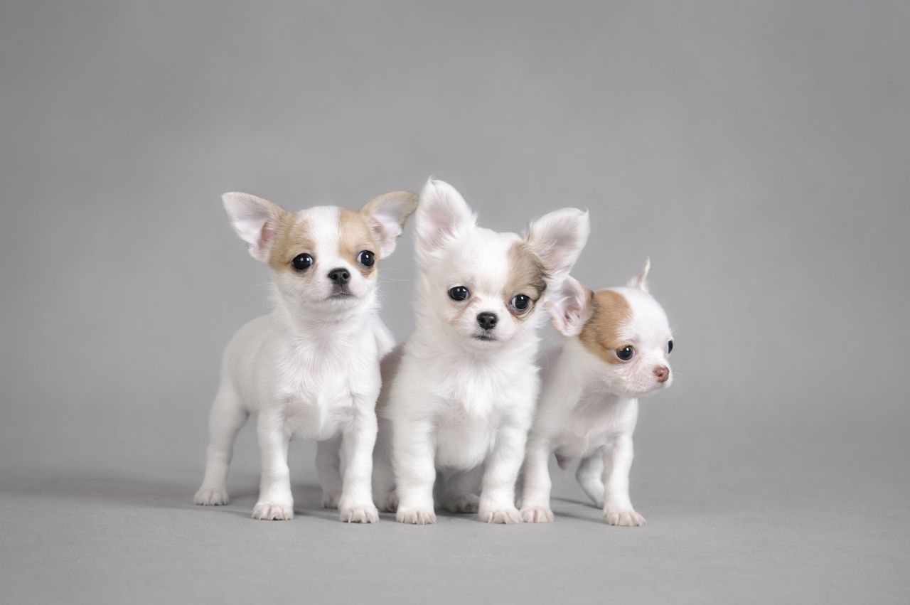 Charming Three White Chihuahua Dog Image With White Background