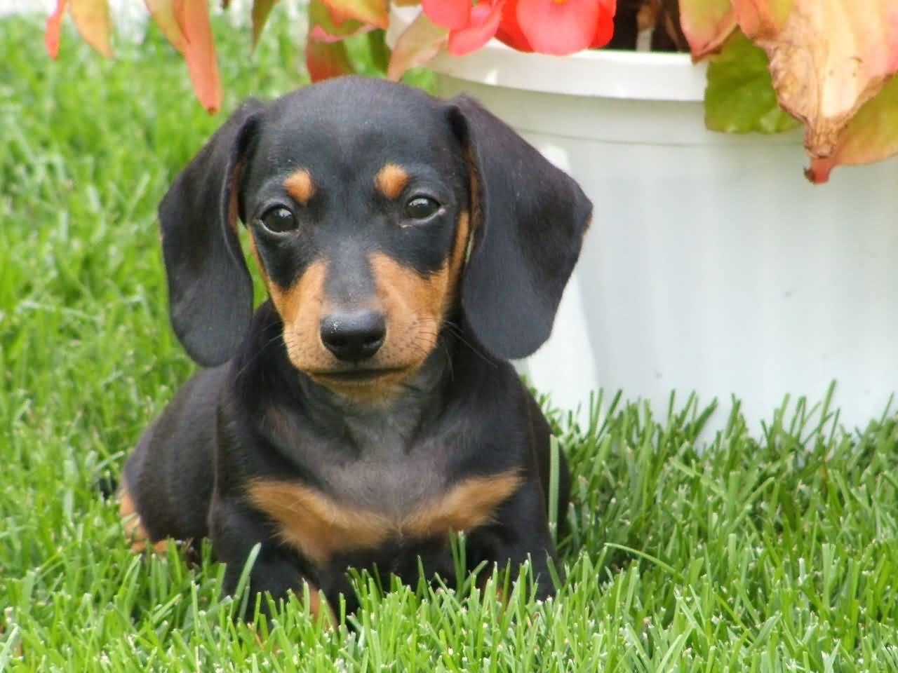 Coolest Dachshund Dog Sitting In Garden