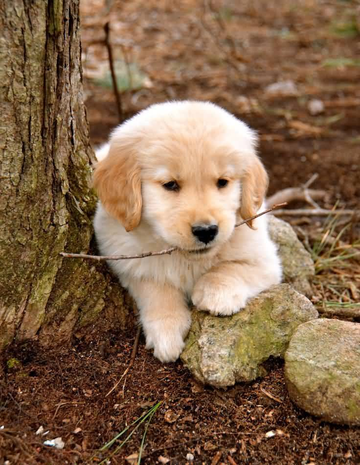 Coolest Golden Retriever Baby Dog Puppies With Beautiful Background