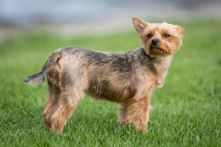 Coolest Yorkshire Terrier Dog With Beautiful Background