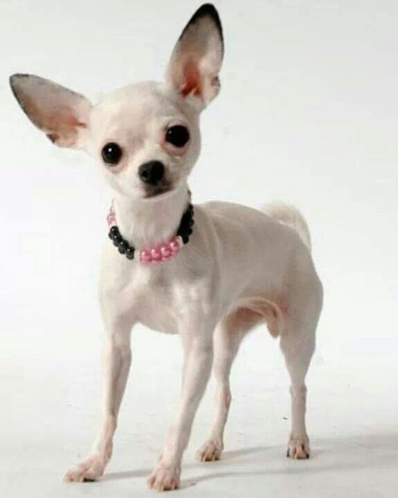 Cute Chihuahua Dog With Beautiful For Wallpaper