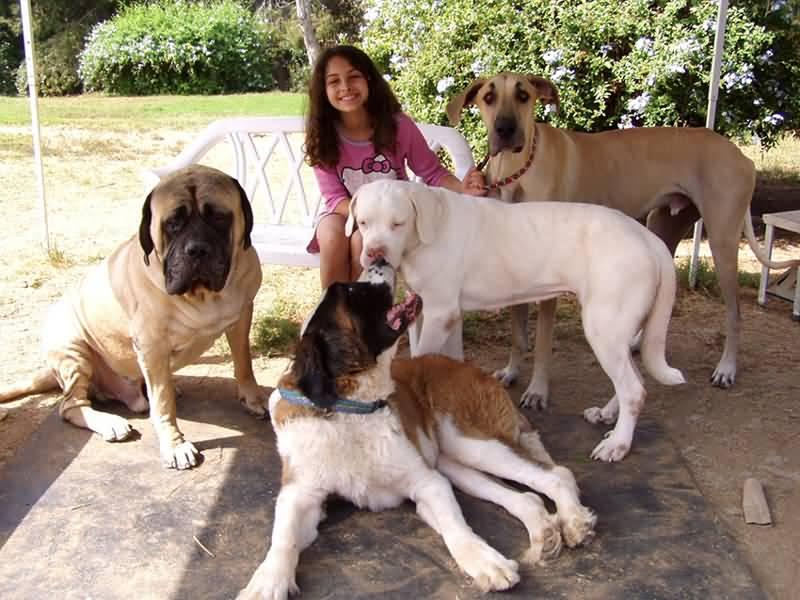 Fantastic English Mastiff Dog Playing With Their Friends