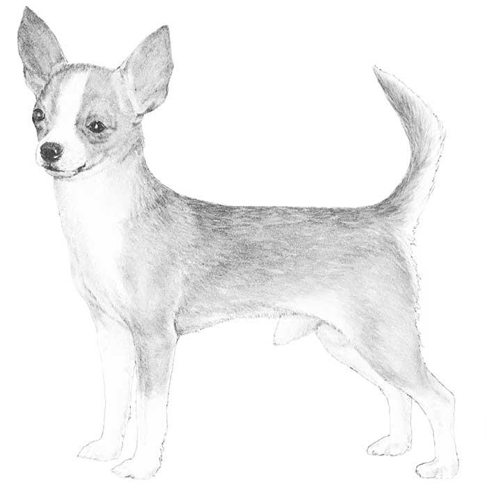 Fabulous Chihuahua Dog Drawing Photo For Wallpaper