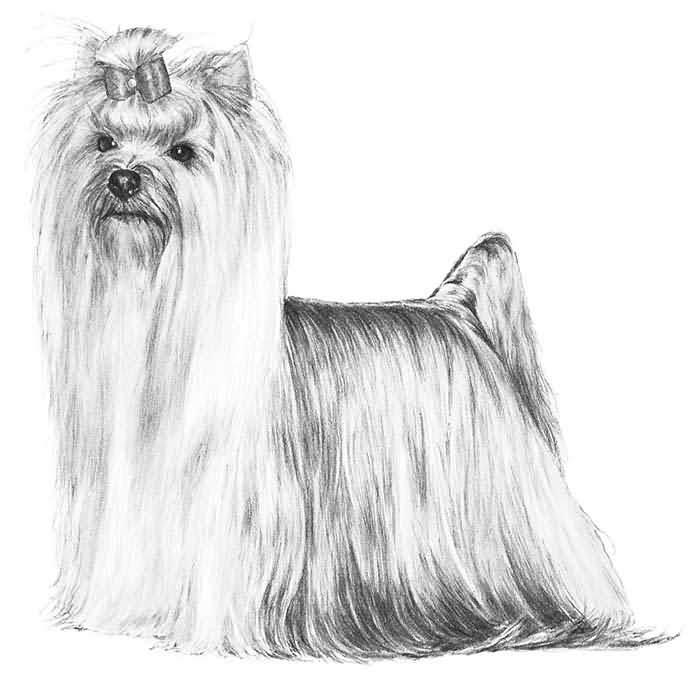 Fantastic Yorkshire Terrier Dog For Wallpaper