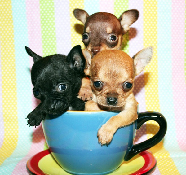 Incredible Three Friend Chihuahua Dog In Teacup Image For Wallpaper