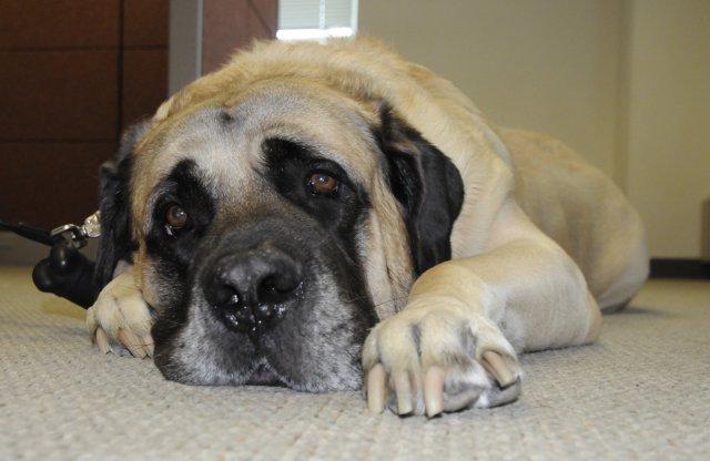 Lovely English Mastiff Dog With Yellow Eyes