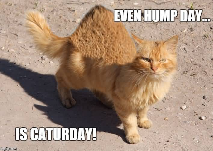 Meme Even Hump Day Is Caturday Image