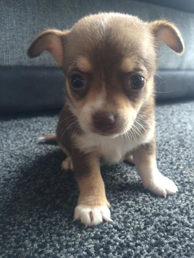 Nice Born Chihuahua Dog Sitting On Carpet For Wallpaper