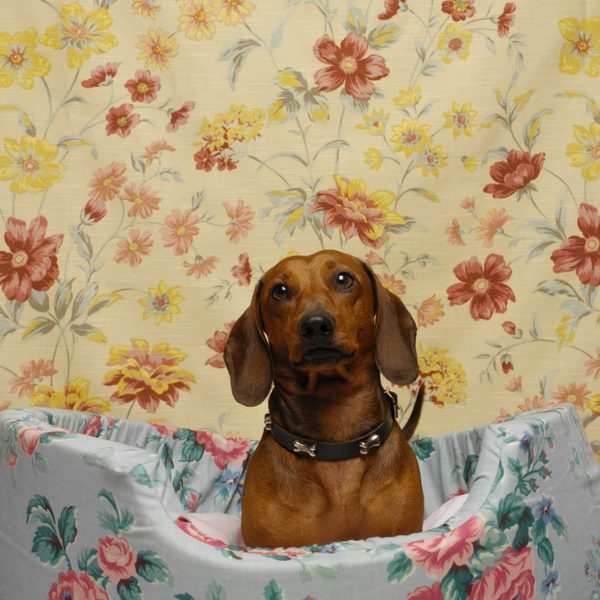 Nice Dachshund Dog Sitting In Dog Home
