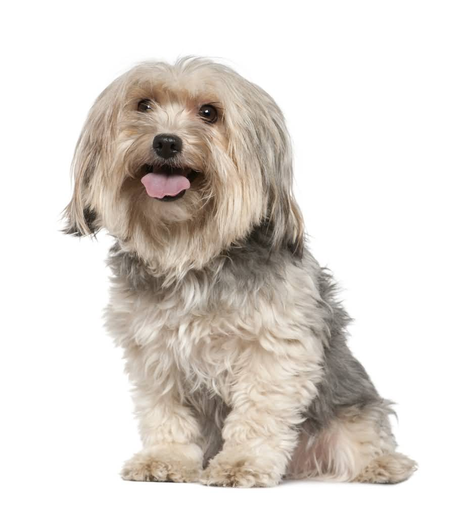 Nice White Yorkshire Terrier Dog For Home