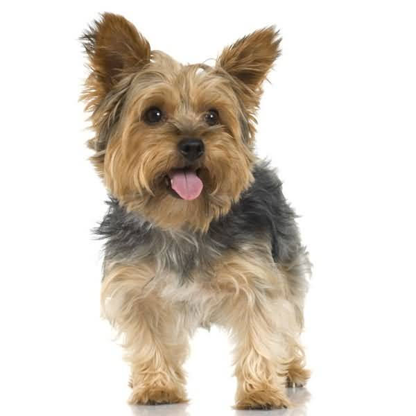 Out Standing Yorkshire Terrier Dog For Wallpaper