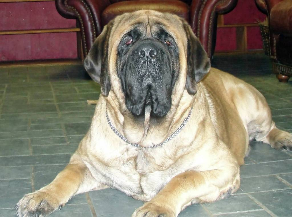 Out Standing Golden English Mastiff Dog Sitting On Floor