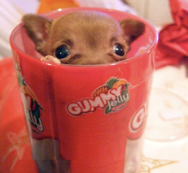 Perfect Brown Chihuahua Dog In Cup For Wallpaper