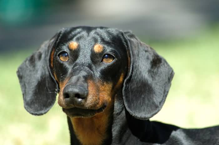 Perfect Dachshund Dog With Green Background