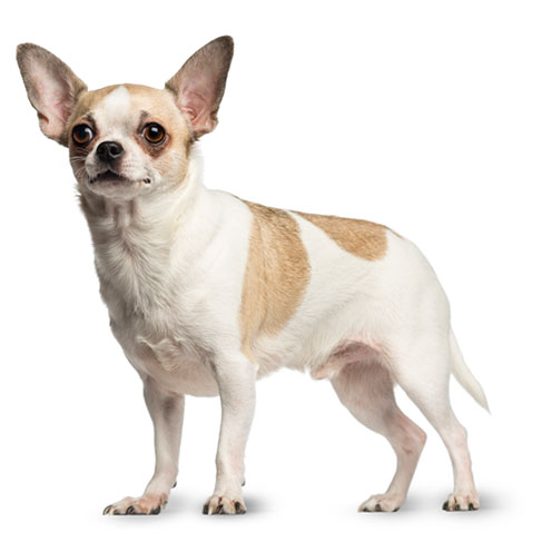 Perfect Picture Of White Chihuahua Dog For Wallpaper