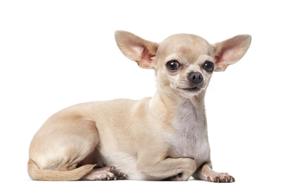 Superb Healthy Chihuahua Dog Sitting On Floor