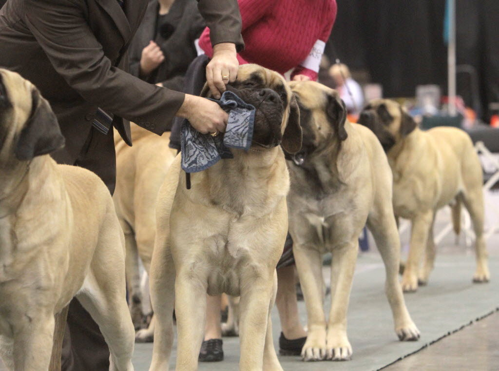Sweet English Mastiff Breeds Dog For Wallpaper