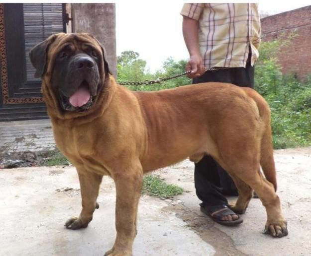 Ultimate Brown English Mastiff Dog With Green Background