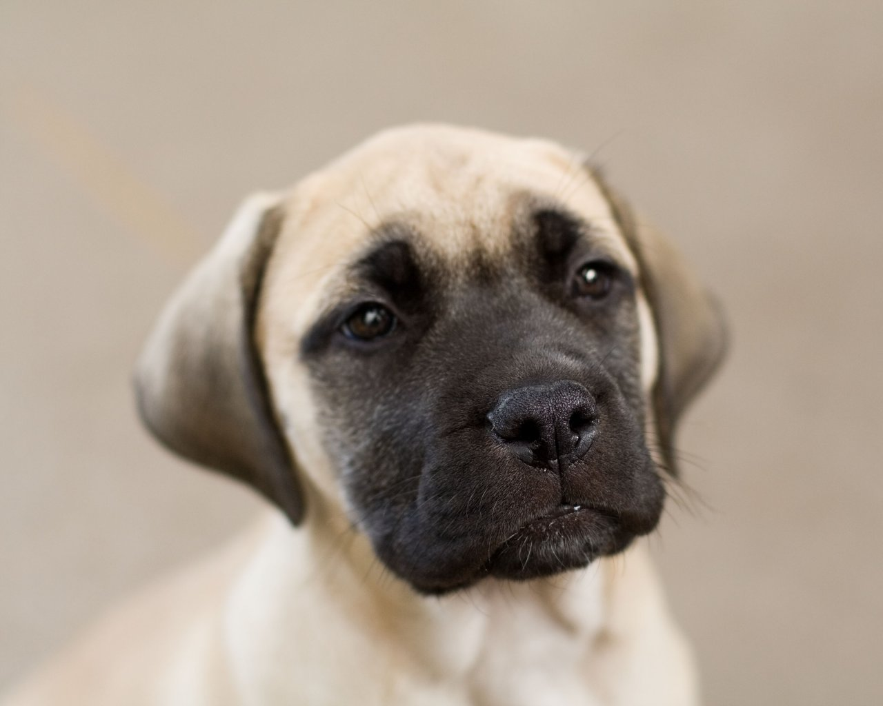Ultimate English Mastiff Dog Face Photo For Wallpaper