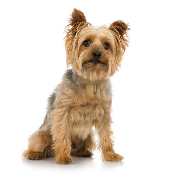 Ultimate Yorkshire Terrier Dog With White Background