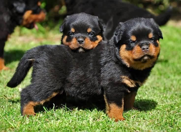 Very Cute Rottweiler Dog Puppies In Garden