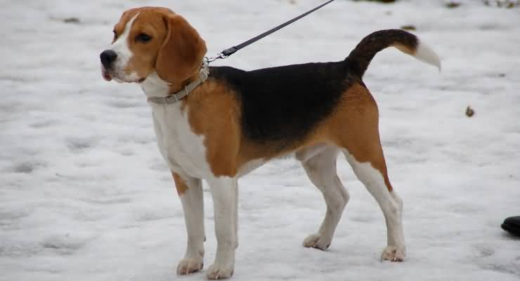 Very Cutest Adult Grown Beagle Dog At Owner Hand