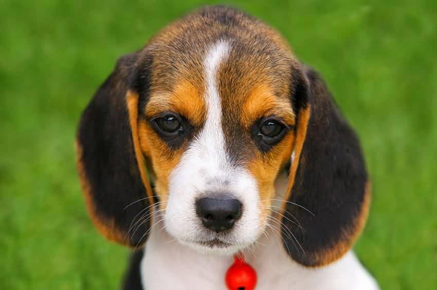 Very Cutest Beagle Dog With Yellow And Black Color Face