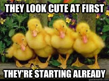 Duck Memes They look cute at first they're starting already