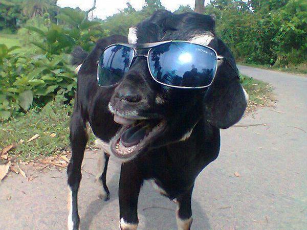 Funny Goat Meme