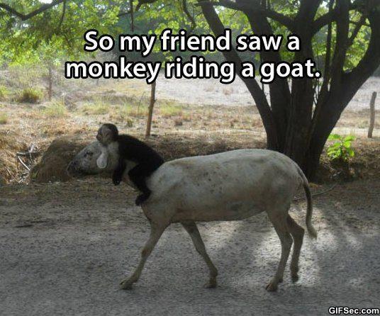 Goat Meme So my friend saw a monkey riding a goat