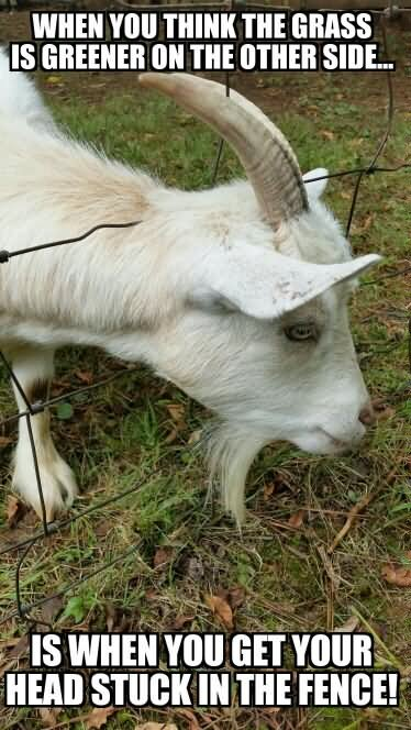 Goat Meme When you think the grass is greener on the other side is when you get your