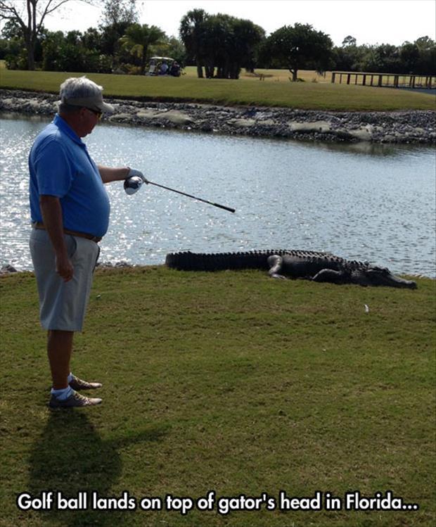 Golf ball lands on top of gator Golf Meme