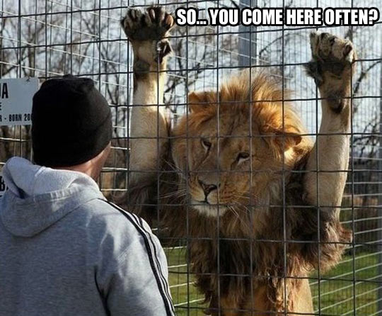 Lion Meme So you come here often
