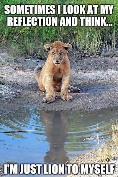 Lion Meme Sometimes i look at my reflection and think