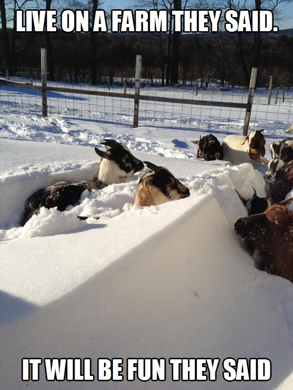 Live on a farm they said Goat Meme