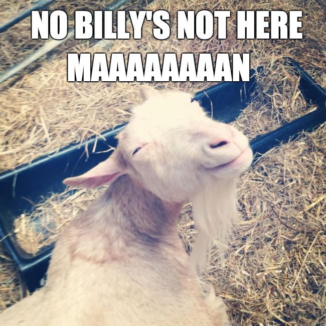 No billy's not here maaaaaan Goat Meme