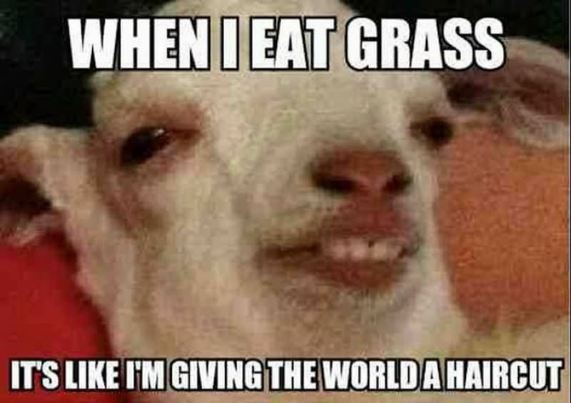 When i eat grass it's like im giving the workd a haircut Goat Meme