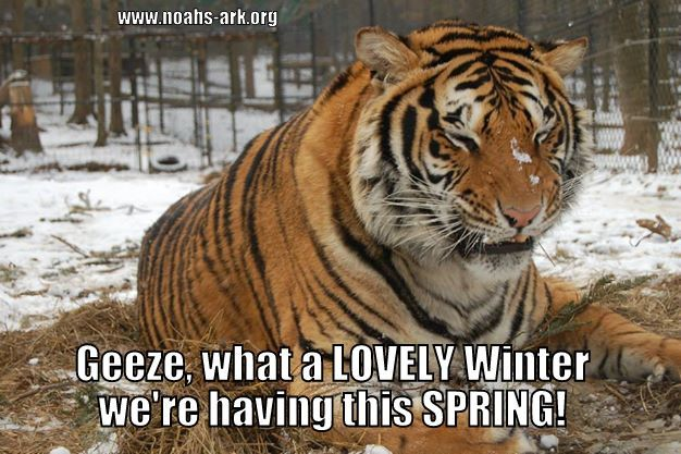 Geese what a lovely winter we're having this spring Tiger Meme