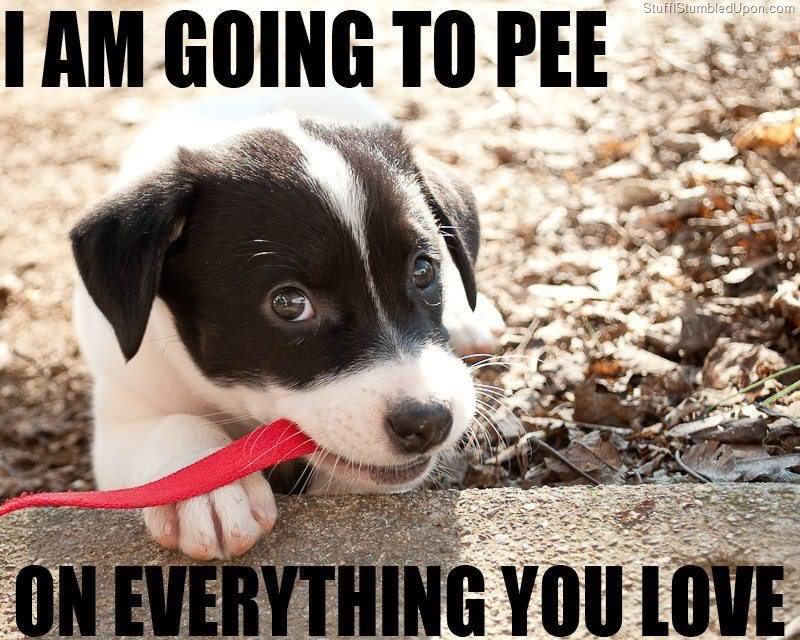 I am going to pee on everything Pet Memes