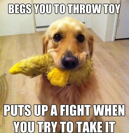 Pet Memes begs you to throw toy puts up a fight when you try to take it