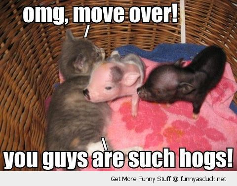 Pigs Meme Omg move over you guys are such hogs