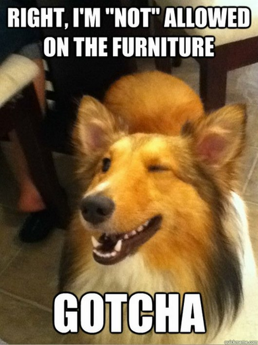 Right I'm not allowed on the furniture gotcha Pet Memes