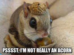 Squirrel Memes psssst I'm not really an acorn