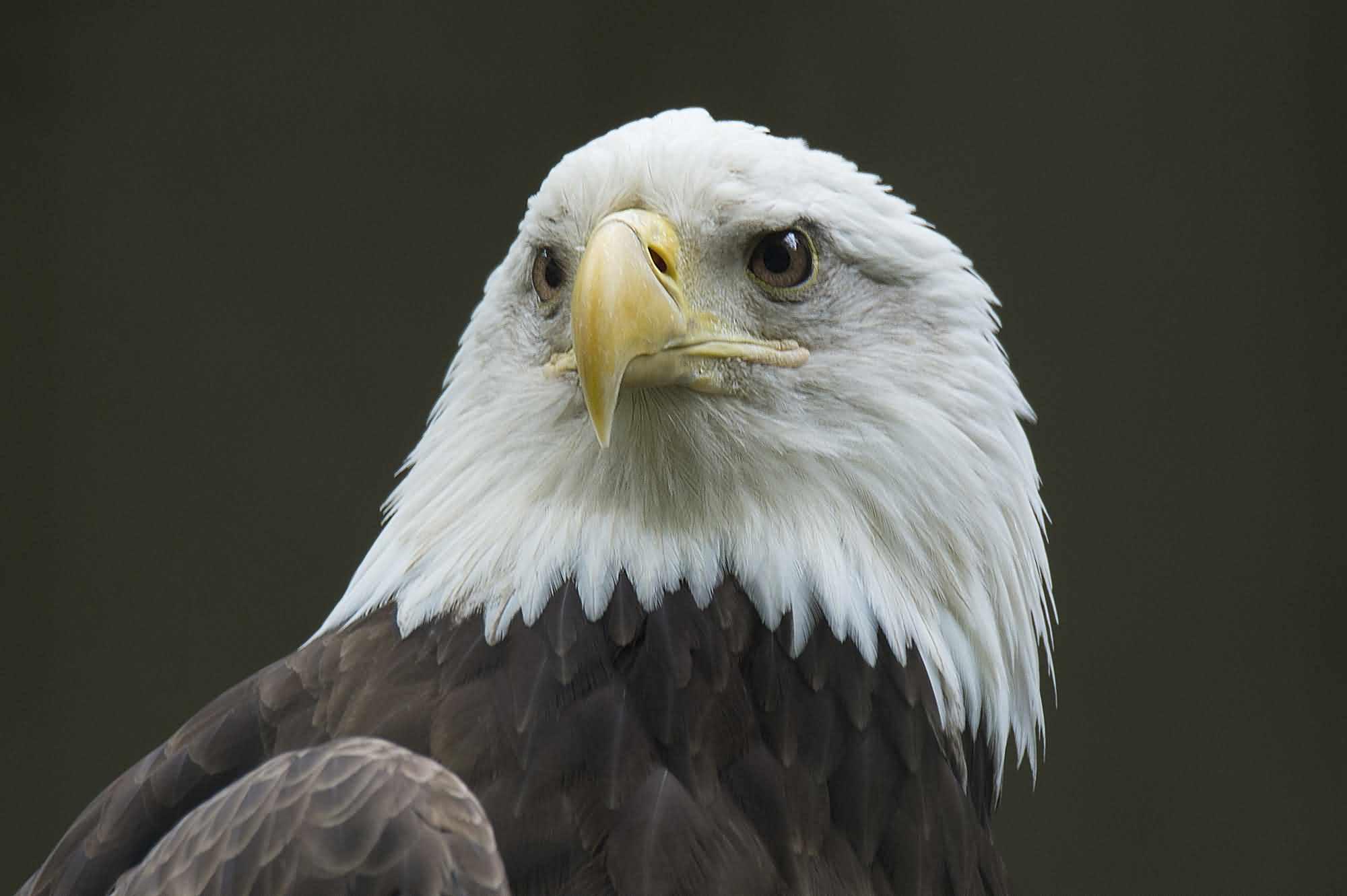 Happy American Eagle Day Hd Wallpaper